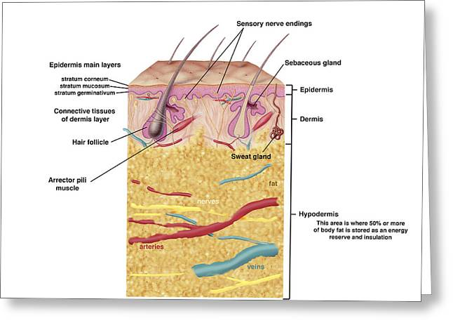 Perspiration Greeting Cards - Anatomy Of The Human Skin Greeting Card by Carlyn Iverson
