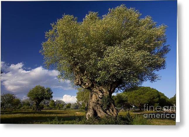 (olea Europaea) Greeting Cards - Ancient Olive Olea Europaea Trees Greeting Card by Bob Gibbons