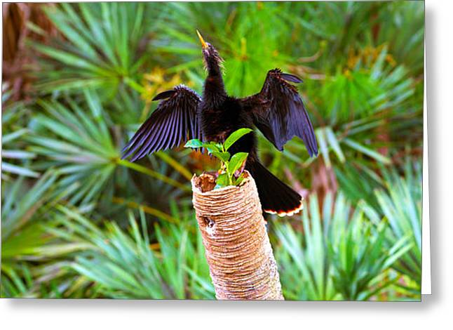 Bird On Tree Greeting Cards - Anhinga Anhinga Anhinga On A Tree Greeting Card by Panoramic Images