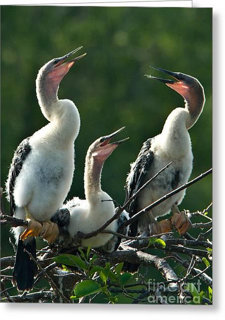 Anhinga Greeting Cards - Anhinga Chicks Greeting Card by Mark Newman