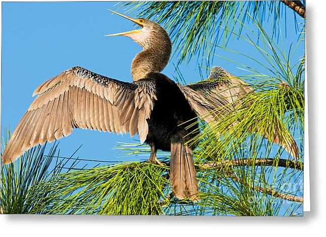Florida Wild Turkey Greeting Cards - Anhinga Greeting Card by Millard H. Sharp