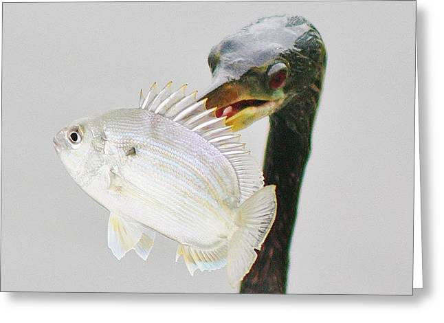 Pinfish Greeting Cards - Anhinga with the Catch of the Day Greeting Card by Paulette Thomas