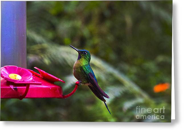Hovering Greeting Cards - Another Mindo Hummer Greeting Card by Al Bourassa