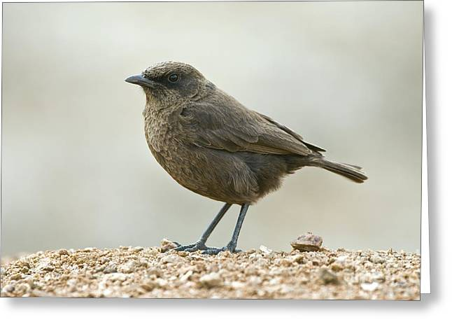 Northern Africa Greeting Cards - Ant-eating Chat Greeting Card by Peter Chadwick