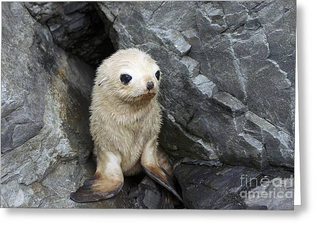 Seal Pup Greeting Cards - Antarctic Fur Seal Blonde Pup Greeting Card by Charlotte Main