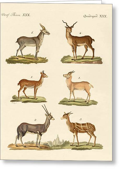 Southern Drawings Greeting Cards - Antelopes and gazelles Greeting Card by Splendid Art Prints