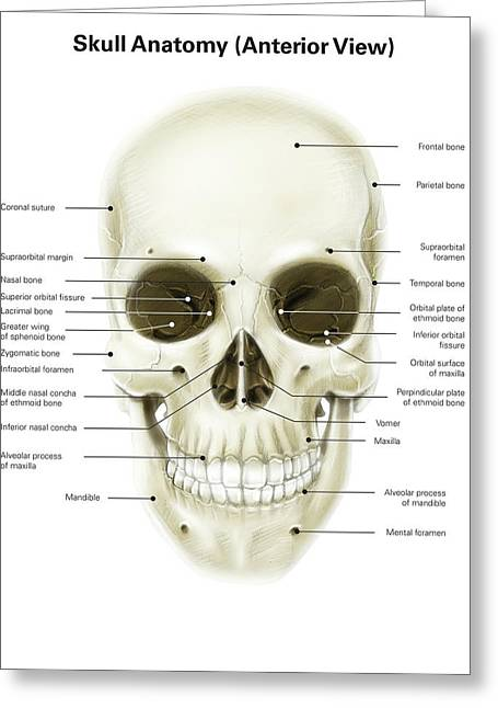 Anterior View Of Human Skull Greeting Card by Alan Gesek