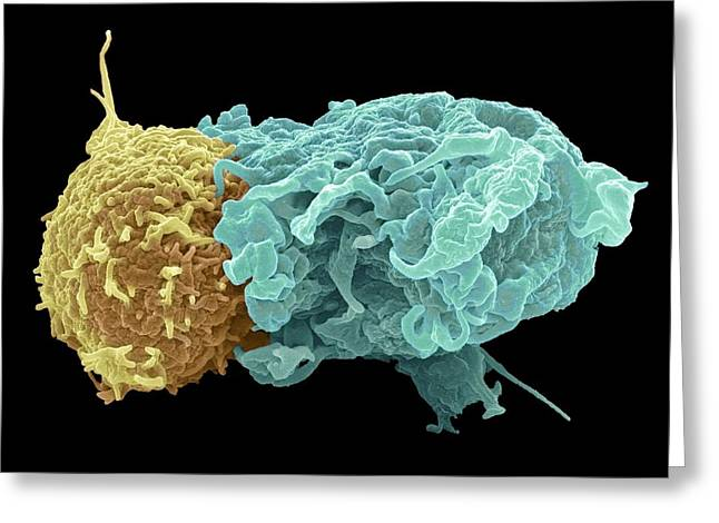 T Cell Greeting Cards - Antigen presentation, SEM Greeting Card by Science Photo Library