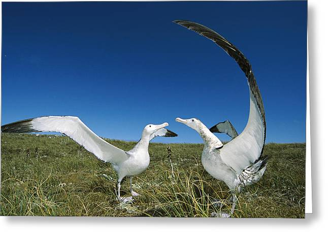 Wildlife Celebration Greeting Cards - Antipodean Albatross Courtship Display Greeting Card by Tui De Roy