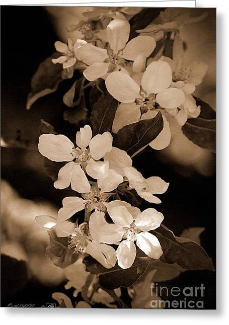 Fruit Tree Art Greeting Cards - Apple Blossom Greeting Card by J McCombie