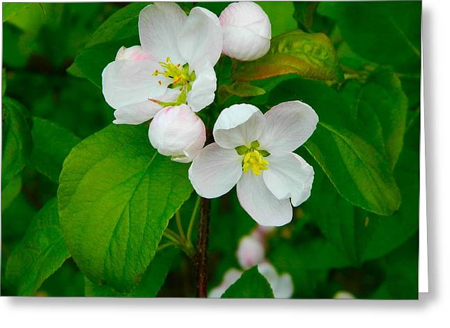 Wine Magazine Art Greeting Cards - Apple blossoms Greeting Card by Johanna Bruwer