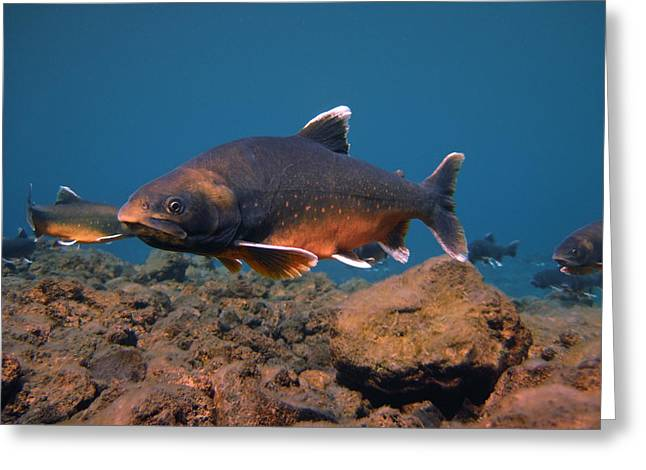Trout Greeting Card Greeting Cards - Arctic Charr Greeting Card by Erlendur Gudmundsson