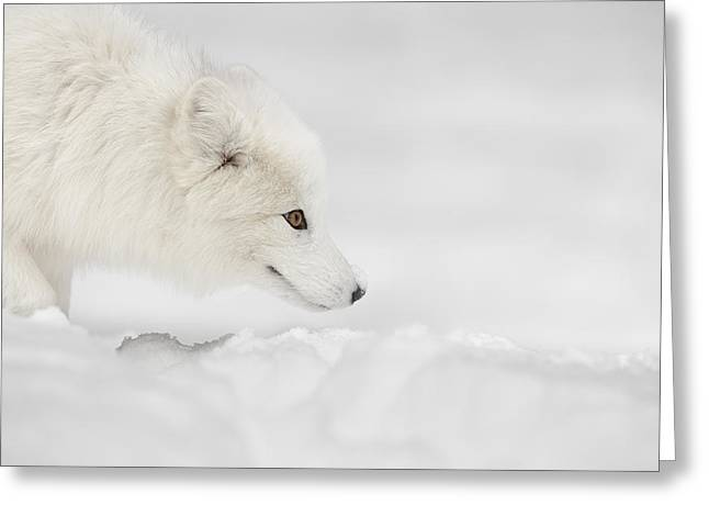 Conceal Greeting Cards - Arctic Fox Greeting Card by Andy Astbury