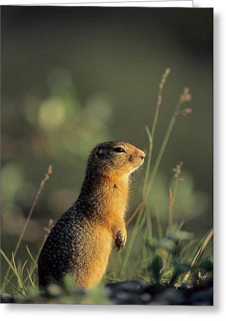 Arctic Ground Squirrel, Denali National Greeting Card by Gerry Reynolds