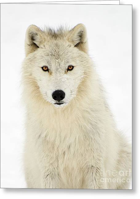Staring Into Camera Greeting Cards - Arctic Predator Greeting Card by Joshua McCullough