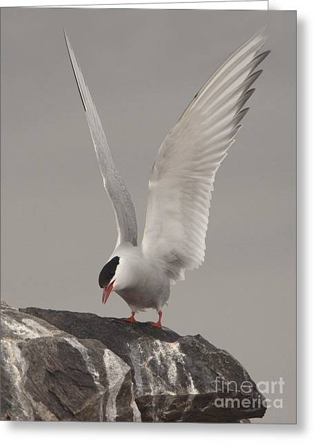 Arctic Terns Greeting Cards - Arctic Tern Alights Greeting Card by John Shaw