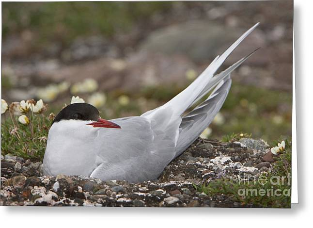 Arctic Terns Greeting Cards - Arctic Tern In Its Nest Greeting Card by John Shaw