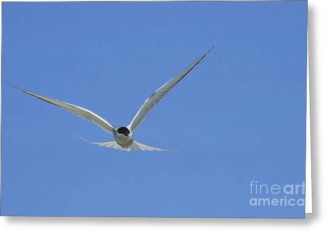 Tern Greeting Cards - Arctic Tern Greeting Card by James L. Amos