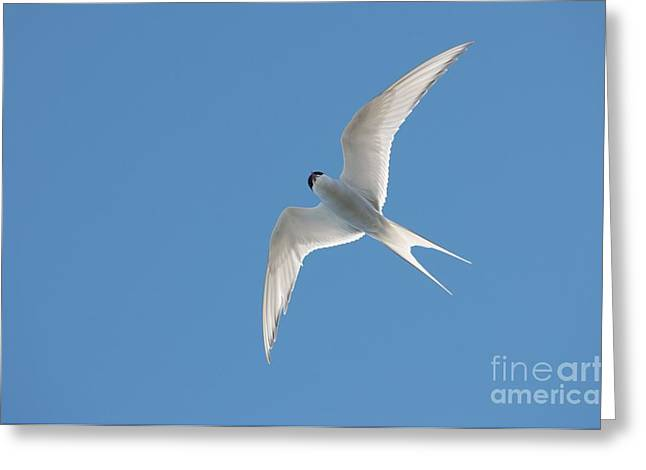 Tern Greeting Cards - Arctic Tern Greeting Card by Louise Murray