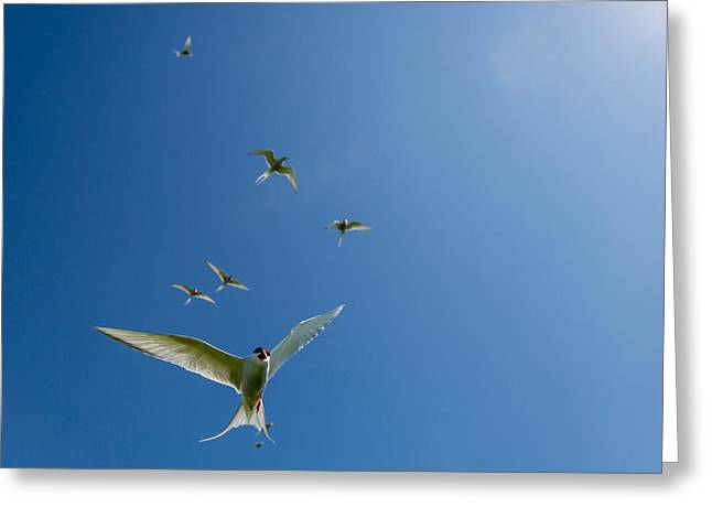 Adventure Of The Seas Greeting Cards - Arctic Terns Sterna Paradisaea, Flatey Greeting Card by Panoramic Images