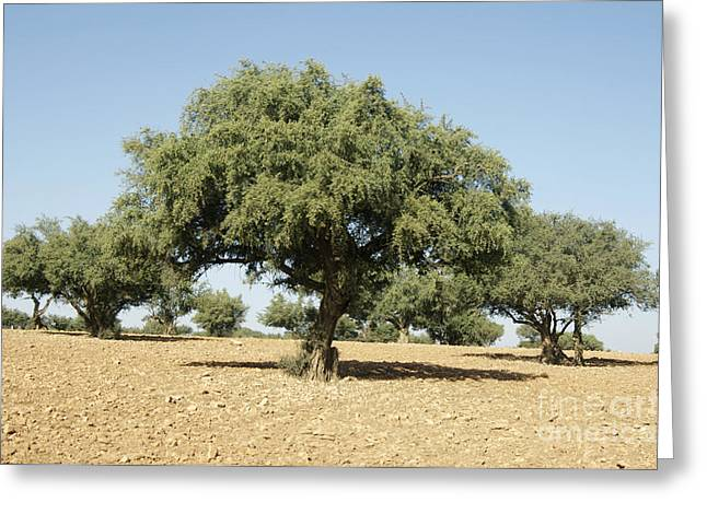 Desertification Greeting Cards - Argan Trees Argania Spinosa Greeting Card by Johnny Greig