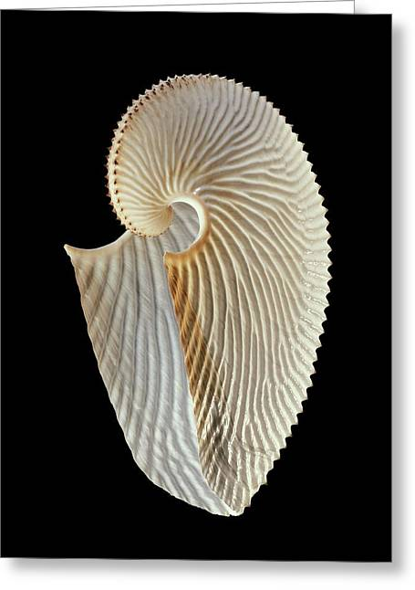 Argonaut Octopus Eggcase Shell Greeting Card by Gilles Mermet