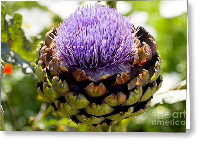 Concerto Greeting Cards - Artichoke Cynara Concerto F1 Greeting Card by Dr. Keith Wheeler