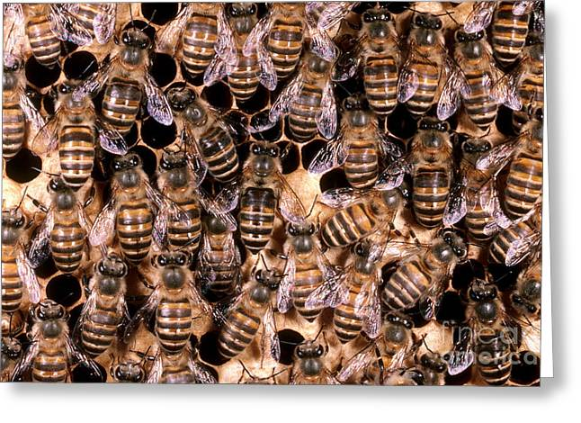 Asian Workers Greeting Cards - Asian Honeybees Greeting Card by Scott Camazine
