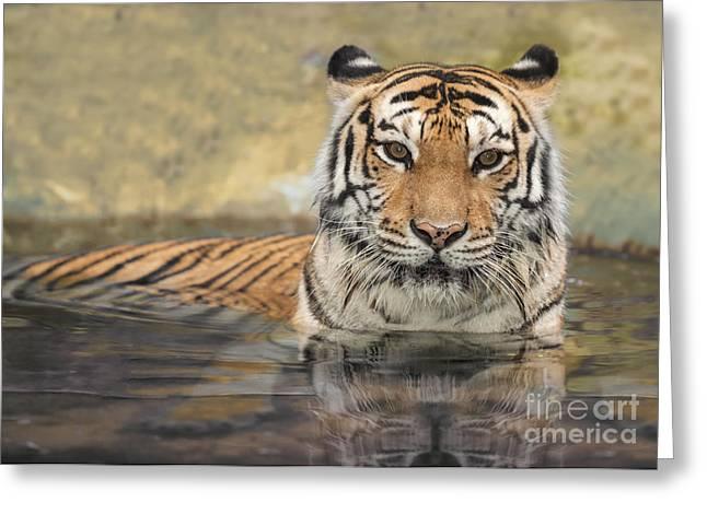 Leopard Hunting Greeting Cards - Asian Tiger  Greeting Card by Anek Suwannaphoom