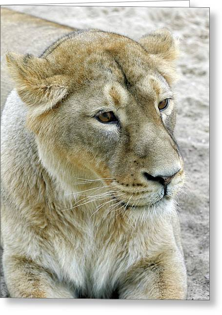 Asiatic Lion Greeting Card by Heiti Paves