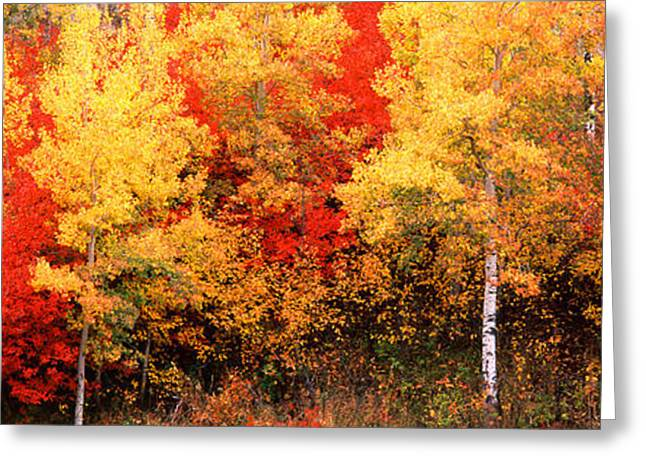 Fall Scenes Greeting Cards - Aspen And Black Hawthorn Trees Greeting Card by Panoramic Images