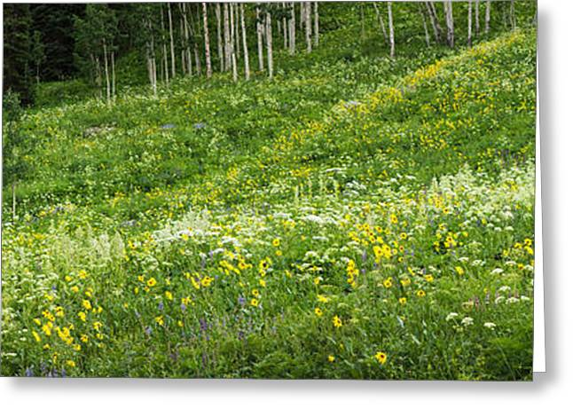 Crested Butte Greeting Cards - Aspen Trees And Wildflowers Greeting Card by Panoramic Images
