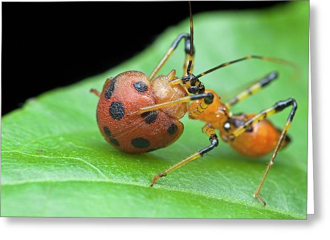 Assassin Bug Nymph Eating Ladybird Greeting Card by Melvyn Yeo