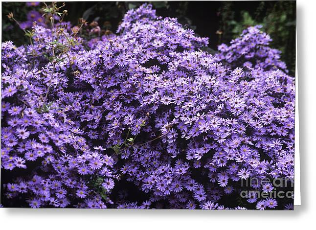 Aster Greeting Cards - Aster Flowers Aster Little Carlow Greeting Card by Adrian Thomas