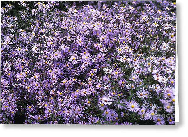 Asters Greeting Cards - Aster Flowers Aster Turbinellus Greeting Card by Adrian Thomas