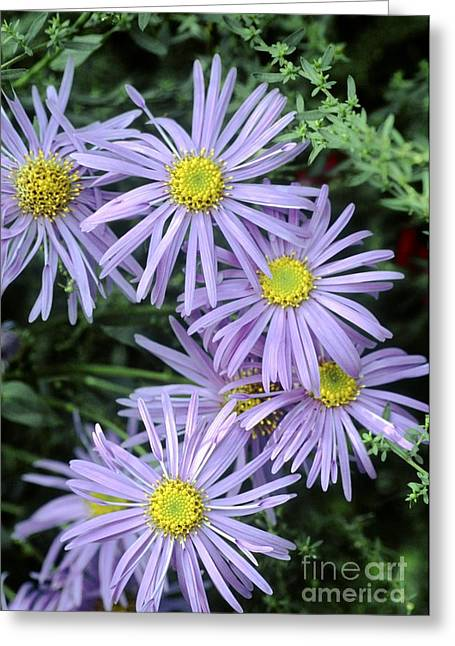 Garden Of Daisies Greeting Cards - Aster X Frikartii Monch Greeting Card by Archie Young