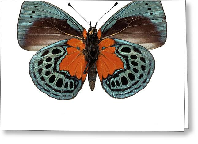Asterope Leprieuri Greeting Card by Natural History Museum, London