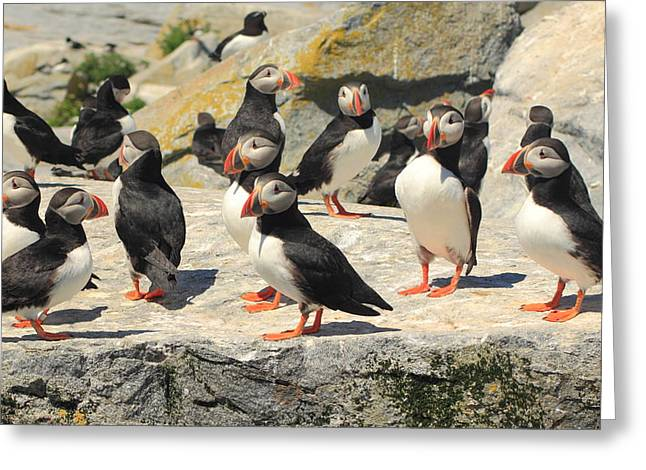 Machias Seal Island Greeting Cards - Atlantic Puffin Colony Greeting Card by John Burk