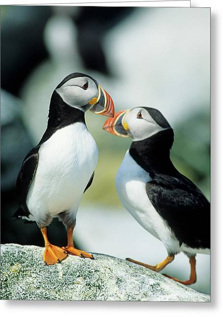 Atlantic Puffins (fratercula Arctica Greeting Card by Richard and Susan Day