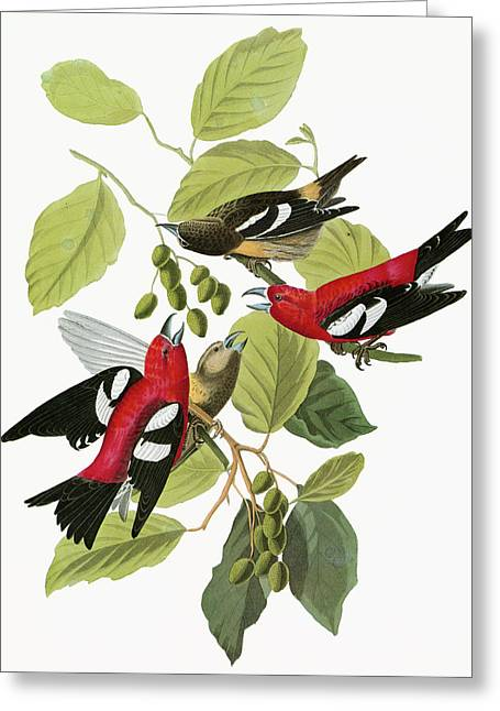 Audubon Crossbill Greeting Card by Granger