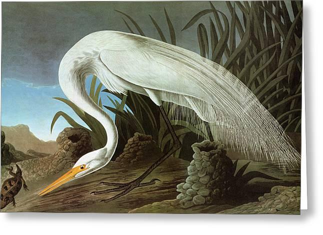Audubon Egret Greeting Card by Granger