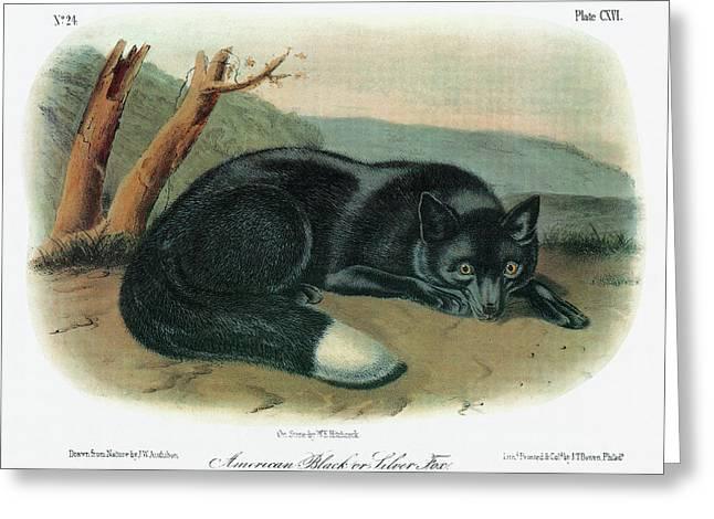 Audubon Fox Greeting Card by Granger