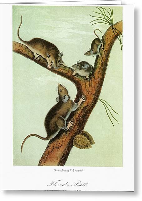 Audubon Woodrat Greeting Card by Granger