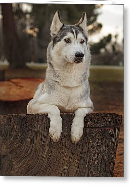 Recently Sold -  - Husky Greeting Cards - Aurora Greeting Card by Brian Cross