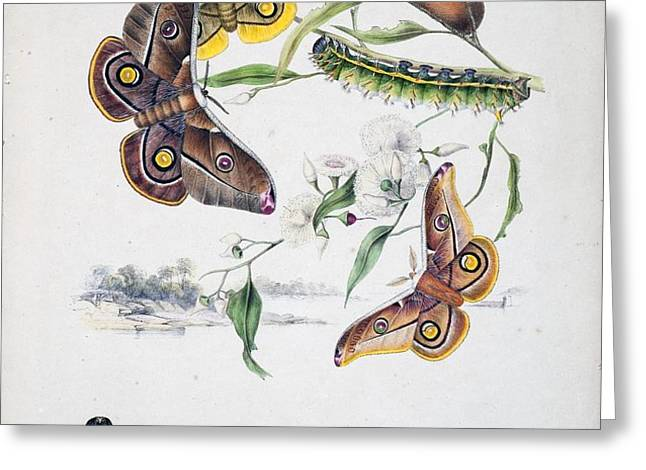 Australian Butterflies Greeting Card by Philip Ralley
