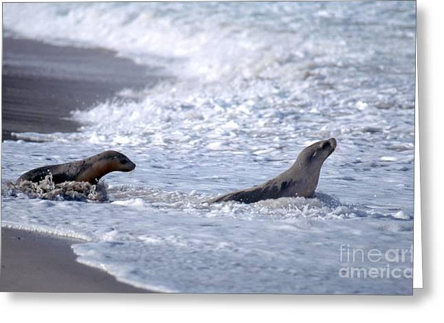 Australian Sea Lions Greeting Card by Gregory G. Dimijian, M.D.