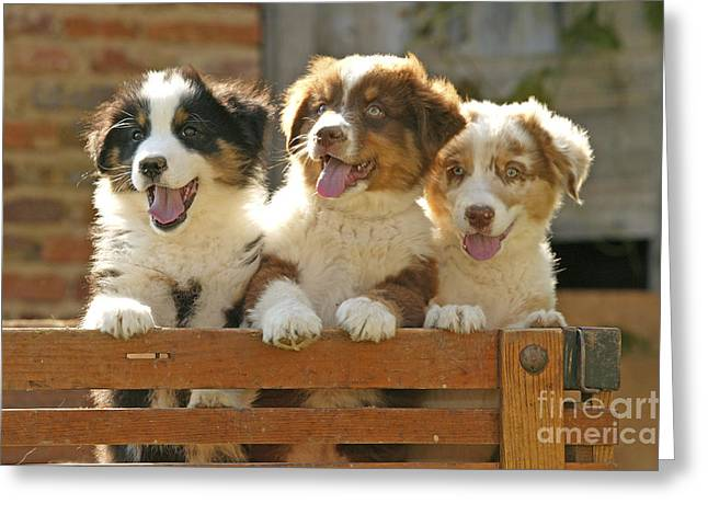 Best Friend Greeting Cards - Australian Sheepdog Puppies Greeting Card by Jean-Michel Labat