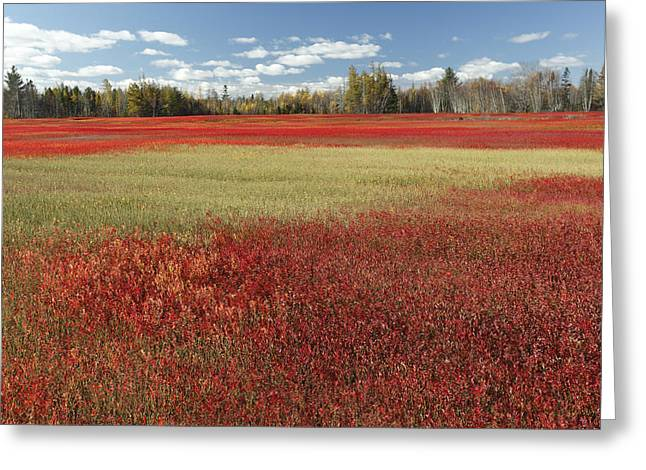 Photos Of Autumn Greeting Cards - Autumn Blueberry Field Maine Greeting Card by Scott Leslie