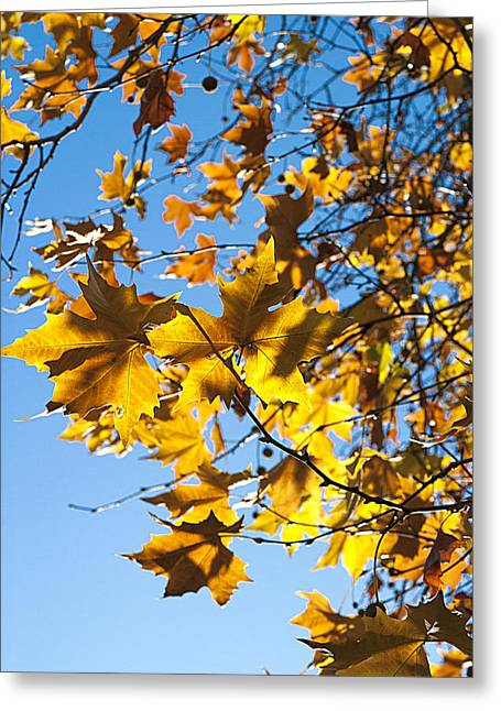Autumn Gold Greeting Card by Peter Lloyd