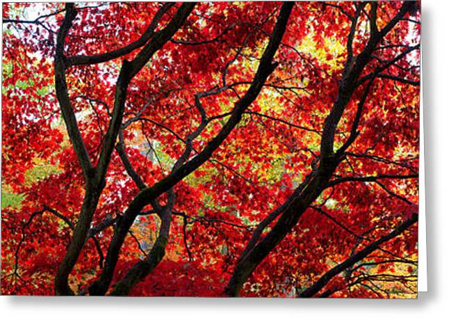 Red Leaves Greeting Cards - Autumn Leaves, Westonbirt Arboretum Greeting Card by Panoramic Images